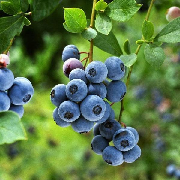 蓝莓什么时候修剪好|果后修剪法