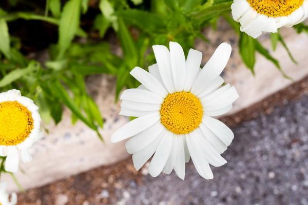 Chrysanthemum—Mito enjoy