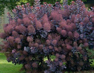 Trimming Smoke Trees – How And When To Prune A Smoke Tree