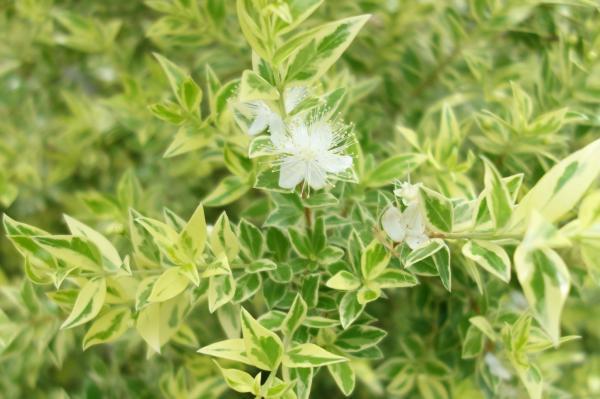ギンバイカ(マートル)の育て方・栽培方法
