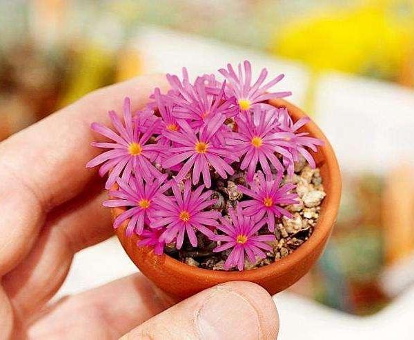 翠卵 Conophytum minusculum