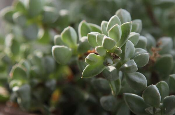 How to Grow and Care for Crassula Plants