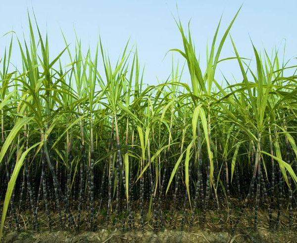 Sugarcane Care – Sugarcane Plant Info And Growing Tips
