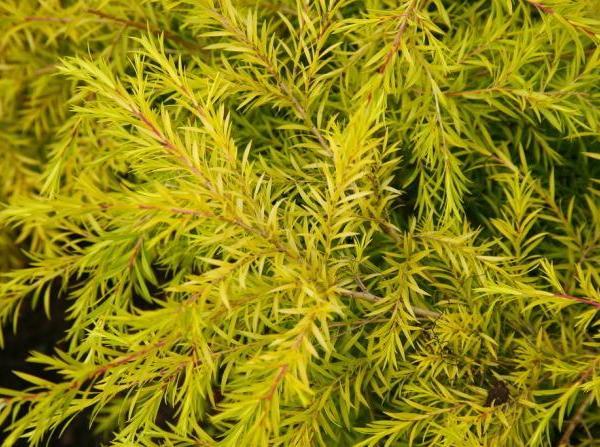 千层金(黄金香柳)的植物资料