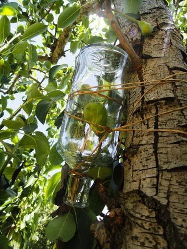 Cómo introducir una pera en una botella