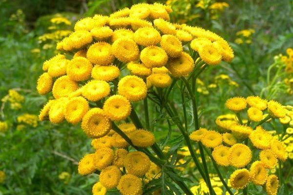 Tansy Plant Info: Tips On Growing Tansy Herbs
