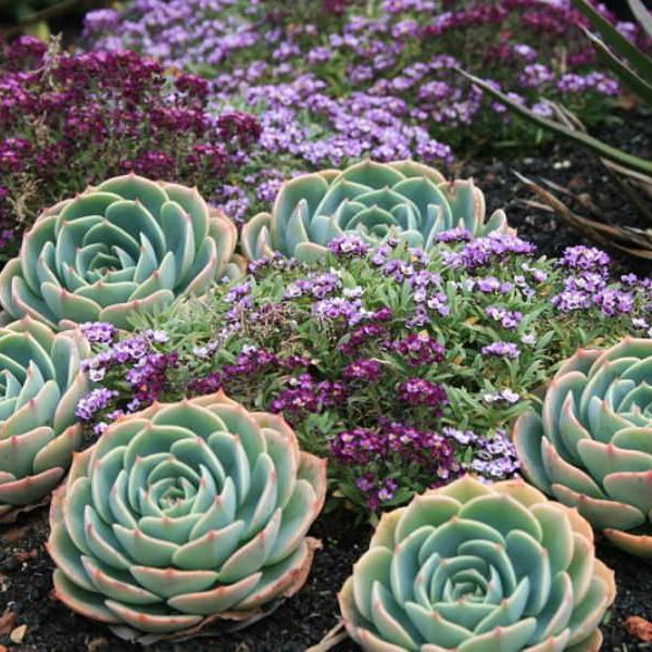 Echeveria x imbricata – Blue Rose Echeveria