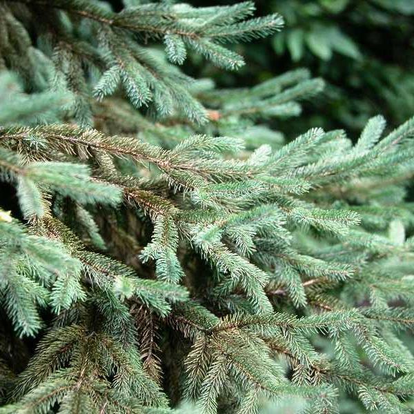 Spruce spider mite