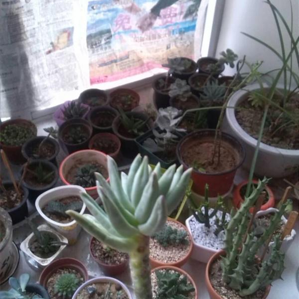 Multiplicación de cactus y crasas por esquejes