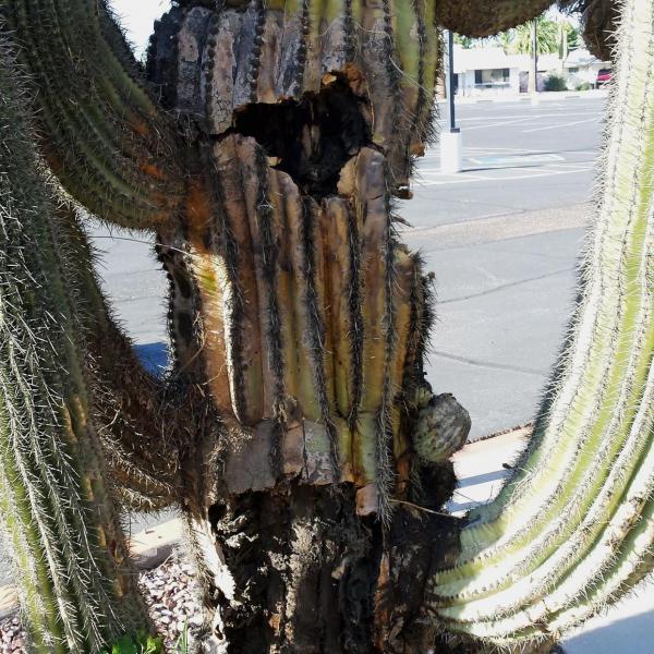 Saguaro Cactus Problems – Treating Bacterial Necrosis In Saguaro