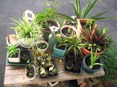 Propagating Spiderettes: Learn How To Root Spider Plant Babies