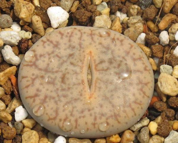 福音玉 C071 Lithops pseudotruncatella ssp. dendritica (syn.