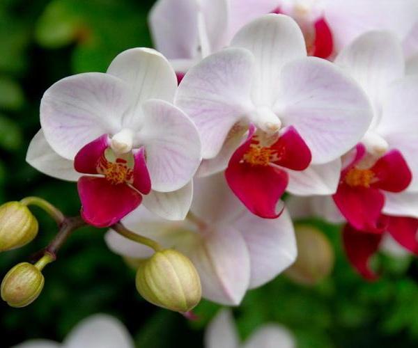 Cuidado de Orquídeas (2)