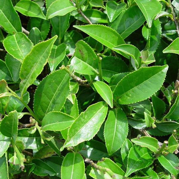 When To Harvest Tea Plants: Information On Tea Plant Harvesting