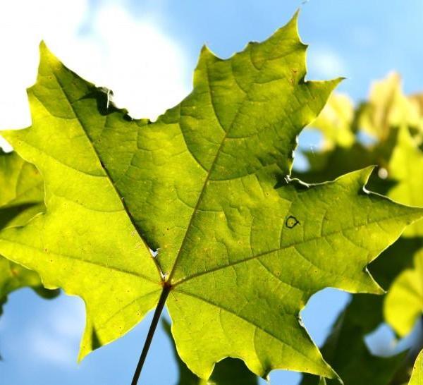 绿色叶子图片