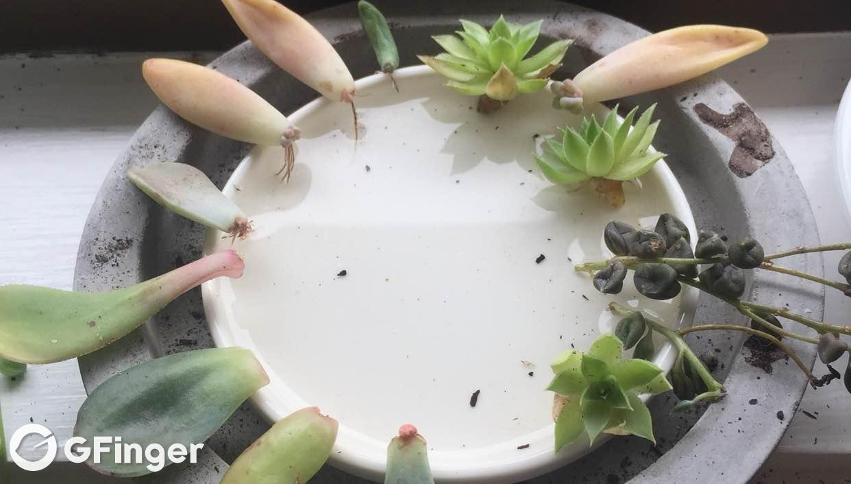 Succulent Water Propagation Succulent Wonderland Garden Manage Gfinger Is The Best Garden Manage App