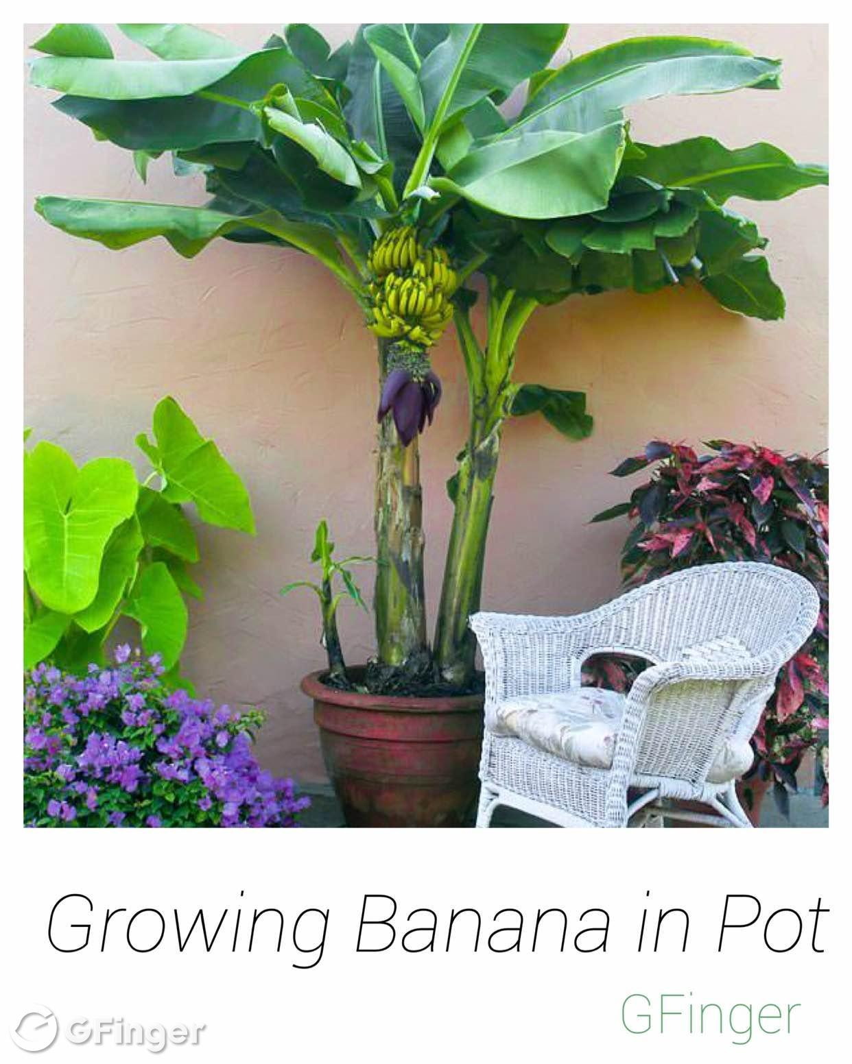 It Is Possible A Banana Tree Bears Fruits In Pot Prolifically May Take Up To 3 5 Years Fruit If Grown From Seeds