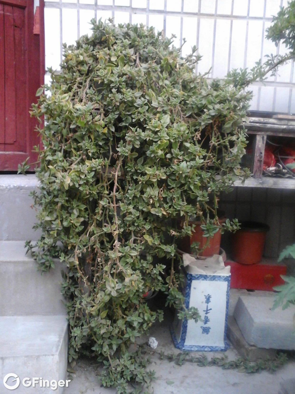 @绿树紫箩   这是最大的那盆花冬季越冬的照片。盆盆大小亲自己感受下哈 。墙上的小瓷砖一块估计也就30-40cm高吧。