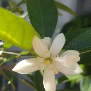 the flowers of lemon trees smell soo intense and good. i really think they should be a