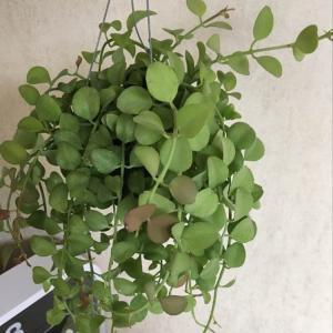"""제가 새로운 식물 """"딜란시아""""한 그루를 나의 """"화원""""에 옴겼어요."""