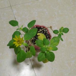 这看起来像是向日葵吗?三个多月长成这样