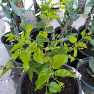 最近枝繁叶茂的,还有好多花苞!不过不知道是不是肥不够,叶子不太大,也不是那么绿,还不长…尴尬…