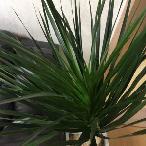 """제가 새로운 식물 """"드라코""""한 그루를 나의 """"화원""""에 옴겼어요."""