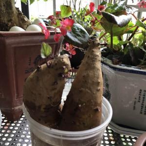 红薯叶好吃
