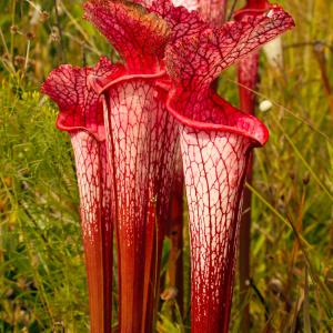 Name: Sweet pitcher plant Latin: Sarracenia rubra Origin: North America Plant height: 10 - 100 cm Reproduction:  #Division   Difficulty level:  #Pro   Tags:  #NorthAmerica   #Sarraceniarubra