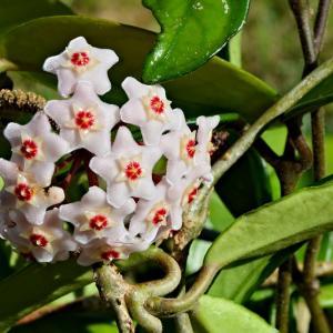 名称: #球兰               英文名称:Hoya carnosa  别名:球兰、爬岩板、草鞋板、狗舌藤、壁梅 科: #萝藦科   属: #球兰属   原产亚洲东部和澳大利的攀援灌木,常附生于树上或石上。茎节上生根,可用扦插或压条的方式繁殖。在4~6月开白色有香味的小花,聚集呈伞形状,就好似球一样。那玲珑有致的身姿是这般的清秀,纯净得就好似仙女那般出尘脱俗,不食人间烟火。