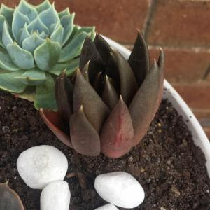 Repotted some closed up sad looking Black Knights, i hope they like their new home.  #succulent    #Echeveria