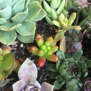 #jellybean   #succulent   #Sedumrubrotinctum
