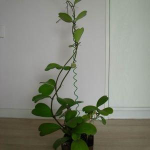 名称: #心叶球兰               英文名称:Hoya cordata  别名:心叶球兰、大叶石仙桃、凹叶球兰 科: #萝藦科   属: #球兰属   原产东南亚及大洋洲等地的攀援亚灌木,可用扦插或压条的方式繁殖。春末开白色有香味的小花,聚集得好似球一样。对生的肉质叶近心形。别致的造型宛若一对恋人深情地拥吻着彼此,紧紧地相依相守着,更将这份浓浓的爱意不断地向四周传递开。