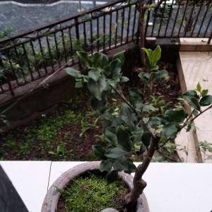 """我新添加了一棵""""黑塔子""""到我的""""花园"""""""
