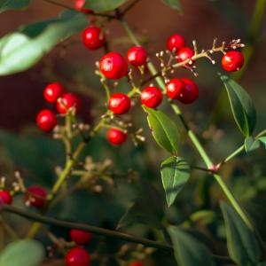 Japanese holly