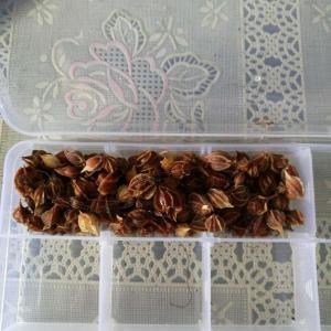 酢浆草大马士革