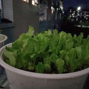 """我新添加了一棵""""生菜""""到我的""""花園""""。"""
