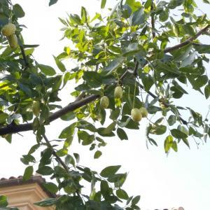 "DUANG!我新添加了一棵""枣树""到我的""花园"",这是它的第一篇成长志,还请花友们多多关照噢!"