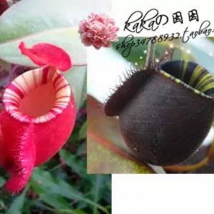 """我新添加了一棵""""猪笼草-(海盗X苹果)超线唇X黑月猪笼草""""到我的""""花园"""""""
