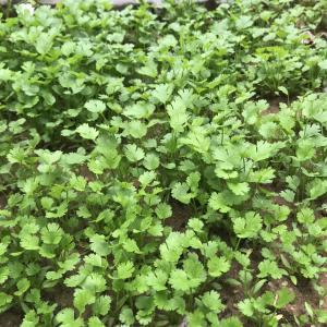 香莱、生菜快可以吃了,黄瓜育苗成功,西红柿长得很旺,蓝莓、葡萄已挂果。