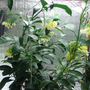 名称: #蜂出巢               英文名称:Hoya multiflora  别名:流星球兰、彗星球兰、流星球兰、飞凤花 科: #萝藦科   属: #球兰属   原产马来西亚,印度尼西亚,菲律宾和泰国的攀援灌木,可用扦插方式繁殖。在5~7月开黄白色小花,有淡淡柠檬香。那奇特的造型就像一群群倾巢出动的黄蜂,向着心中那朵娇美的花儿奋力前行;又像是一颗颗划破天际的流星,在寂静的夜空绽放那一瞬间的绚丽光彩。