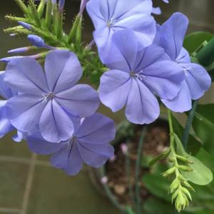 """我新添加了一棵""""蓝雪""""到我的""""花园"""""""