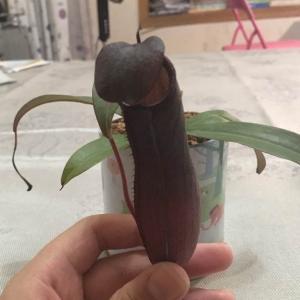 """我新添加了一棵""""猪笼草""""到我的""""花园"""""""