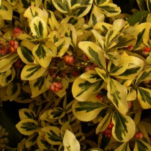 Fortune's spindle Blondy