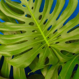 Name: Swiss cheese plant Latin: Monstera deliciosa Origin: South America Plant height: 100 - 500 cm Reproduction:  #Stems   Difficulty level:  #Medium   Tags:  #SouthAmerica   #Monsteradeliciosa