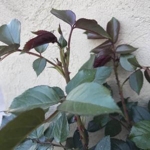 每个枝头上都有花苞,即将开爆的节奏!