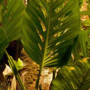 Name: Five holes plant Latin: Monstera adansonii Origin: South America Plant height: 100 - 500 cm Reproduction:  #Stems   Difficulty level:  #Medium   Tags:  #SouthAmerica   #Monsteraadansonii