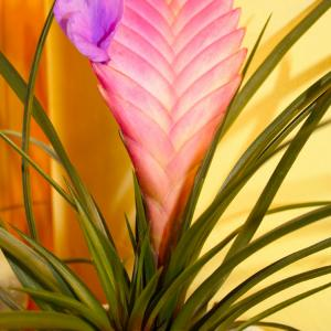Name: Pink Quill Latin: Tillandsia cyanea Origin: Africa Plant height: 5 - 25 cm Reproduction:  #Layering   Difficulty level:  #Easy   Tags:  #Africa   #Tillandsiacyanea