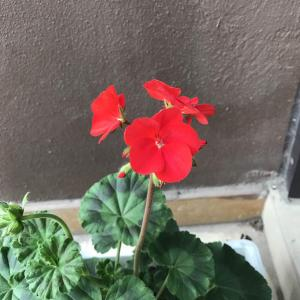 Geranium/天竺葵