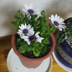 """제가 새로운 식물 """"오스테오스퍼멈""""한 그루를 나의 """"화원""""에 옴겼어요."""